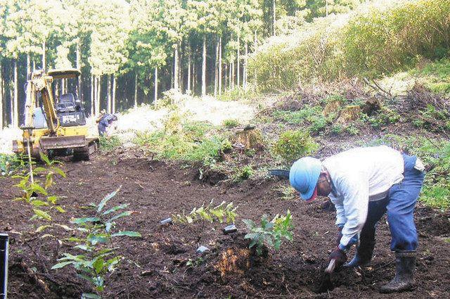 森林再生のために植栽するかが森林組合の組合員=小松市内で(かが森林組合提供)