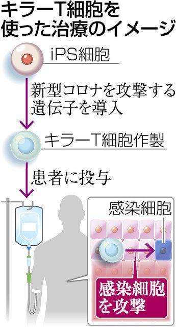 細胞 キラー t No.17 キラーT細胞の機能