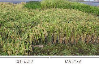 県立大開発ピカツンタ 福井の産地品種銘柄米に 大粒で倒伏に強い
