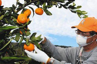 甘味よし 三ケ日みかん「青島」収穫始まる