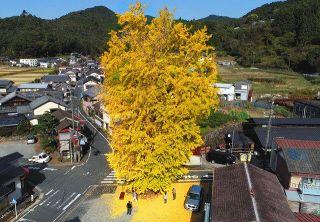 渋川大イチョウ 神木の威厳 黄金色