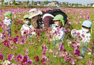 コスモス畑、笑顔も満開 袋井の浅羽東幼稚園児