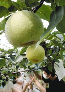 ナシ例年以上の甘さ 掛川の観光農園
