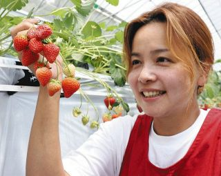 夏でもイチゴできます 岡崎・山田農園で出荷始まる