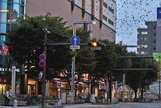 ムクドリ被害、解決にLED 浜松市が街路樹に照射実験