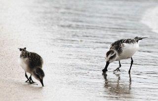 【石川】珍鳥ヘラシギ 志賀に飛来