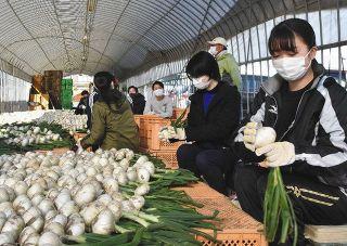大学生がタマネギ収穫 JAとぴあ浜松の農業体験