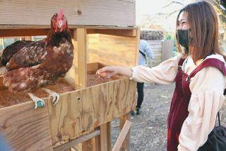 あわら温泉発 卵取り人気 グランディア芳泉に農園協力 宿泊客 ニワトリと触れ合う
