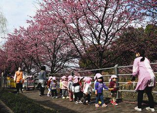逆川沿い 「掛川桜」がお出迎え