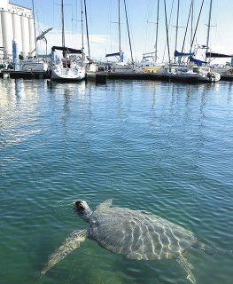 大きな甲羅のウミガメ 清水港にぷかり