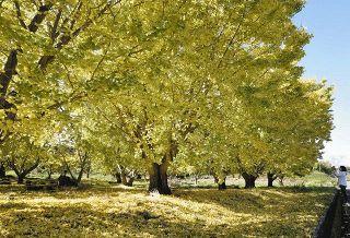 秋色じゅうたん敷き詰め 菊川のイチョウ並木