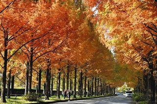 金沢、メタセコイア紅葉 鮮やかオレンジ 染まる並木道