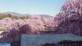 ドローンで愛でる梅の花 三重・鈴鹿の森庭園
